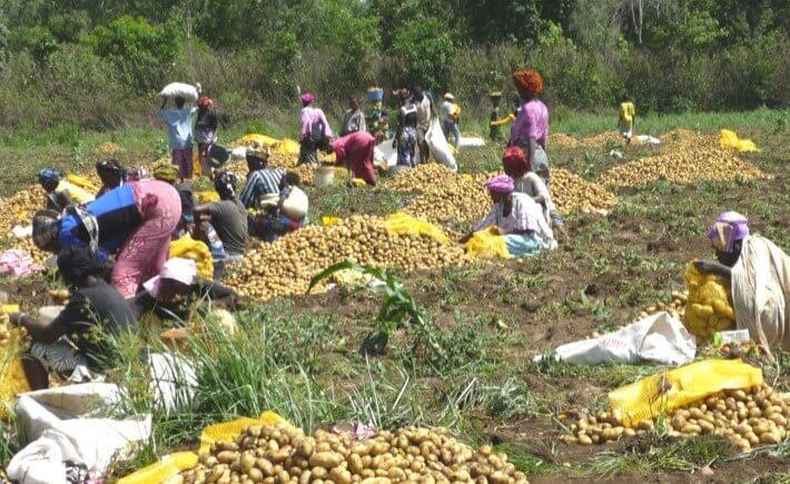 Guinée CEF FPFD Afdi Hauts de France récolte pomme de terre