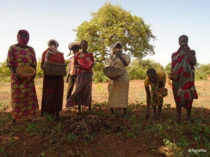 Récolte de noix de karité, Mandoul, Tchad Aprofika
